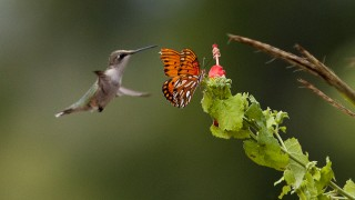A Ruby-throated Hummingbird hovers beside a butterfly near Mineola, Texas. Photo by docdpp
