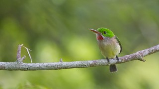 Broad-billed Tody ©2013 Mitch Walters