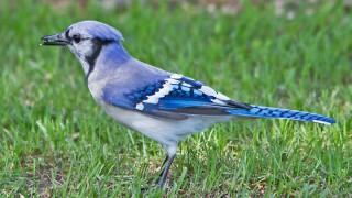 Jay-Blue-13-7507