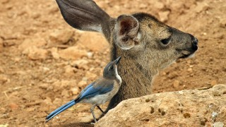 Jay-Scrub-Black-tailed-Deer-2013-06-23-207