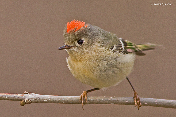 Photo ID: Separating Ruby-crowned and Golden-crowned Kinglets