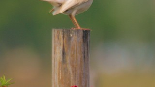 Leucistic-Mockingbird-in-the-flowers