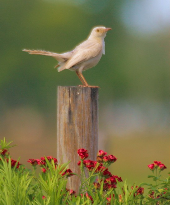 Leucistic-Mockingbird-in-the-flowers