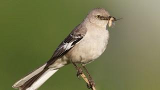 Mocking-Bird-1