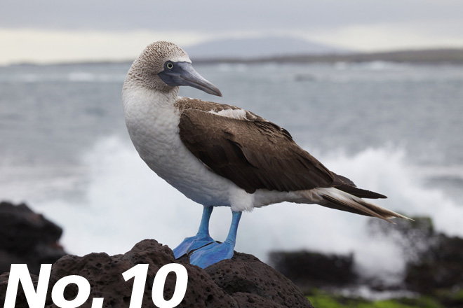 Blue-footed Booby: Unmistakable Pacific showoff