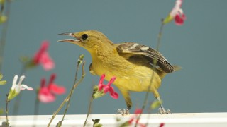 Oriole-Hooded-2013-06-22-223