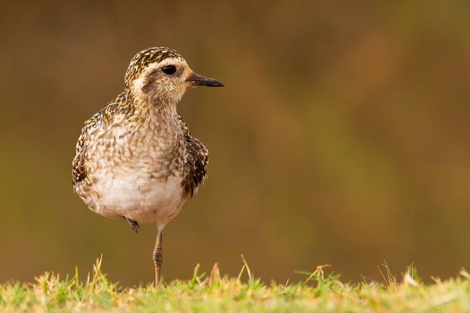 Pacific-Golden-Plover
