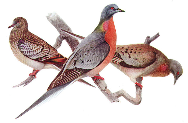 Film to tell the story of our once most abundant land bird: the Passenger Pigeon