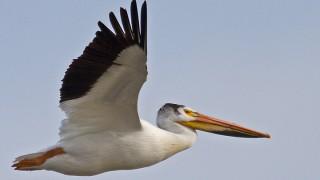 Pelican-American-White-13-7514
