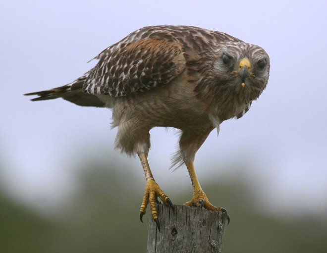 Red-shouldered Hawk with a snack