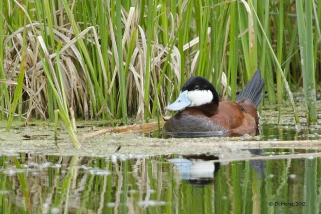 Ruddy-Duck-1