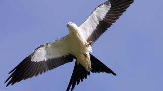 Swallow-tailed Kite in southern Georgia by gman79.