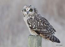 Short-eared-Owl-02