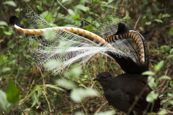 New research: Lyrebirds match songs to specific dance moves