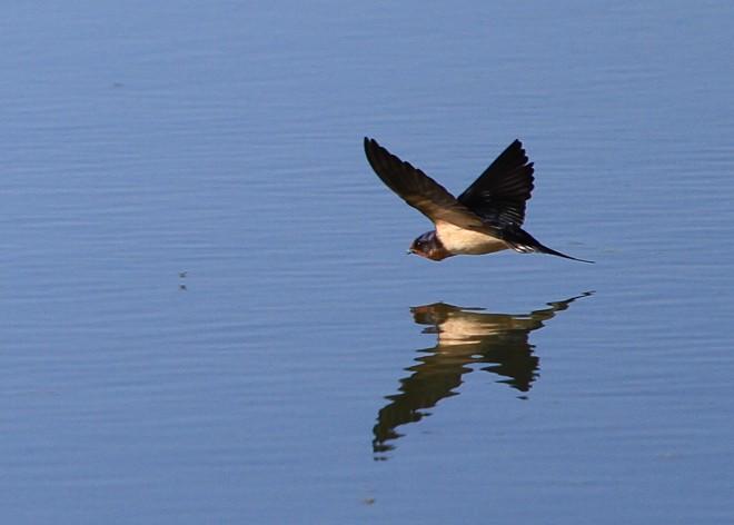 Swallow-7528
