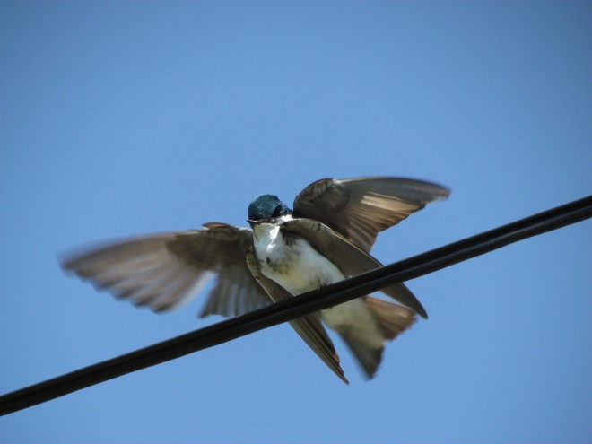 Tree-Swallows-cop