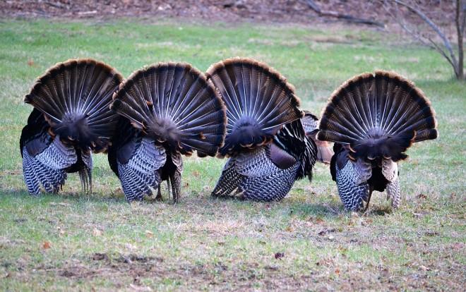 TurkeyTails1