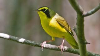 Warbler-Kentucky-07-0182