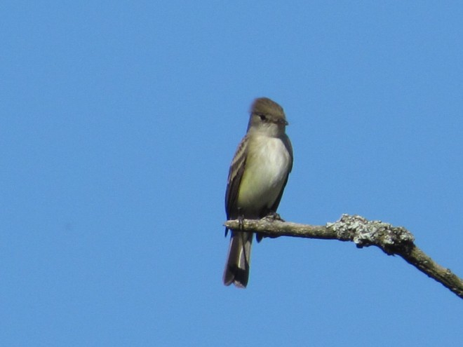 Willow-Flycatcher.Butternut