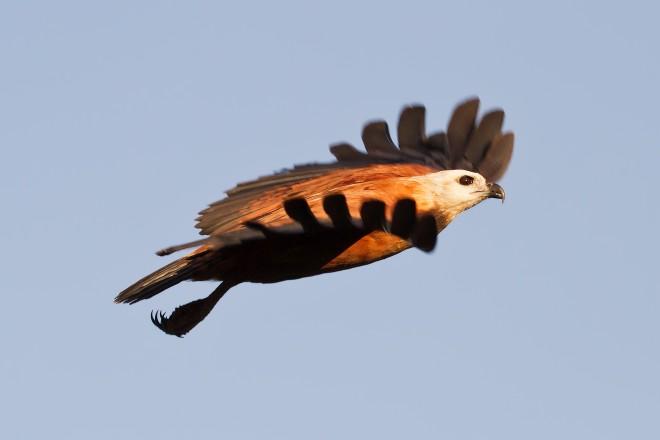 black-collared-hawk-2098
