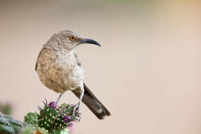 curve-billed-thrasher-1022