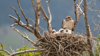 ferruginous-hawk-chicks-mia-mcpherson-6103