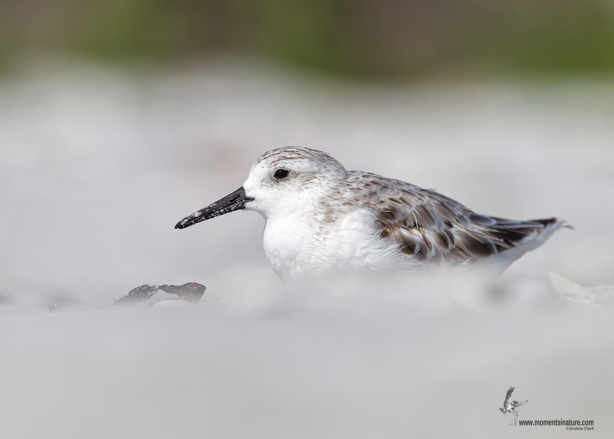 eBird maps show broad distribution of Sanderling in late summer