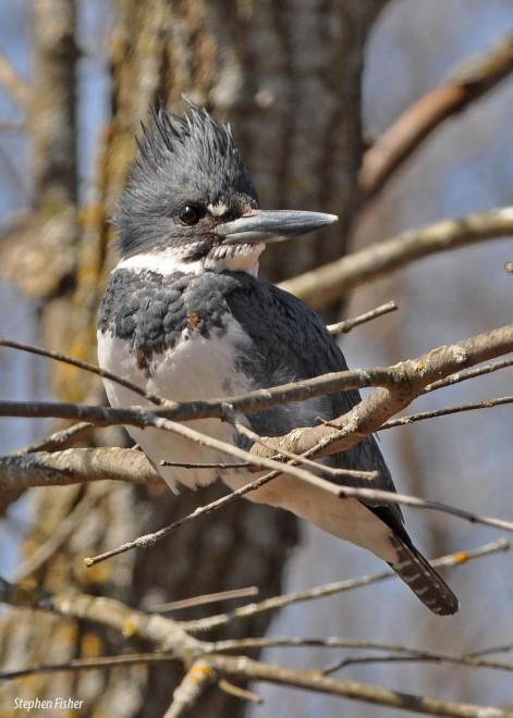 kingfisher0688-copy