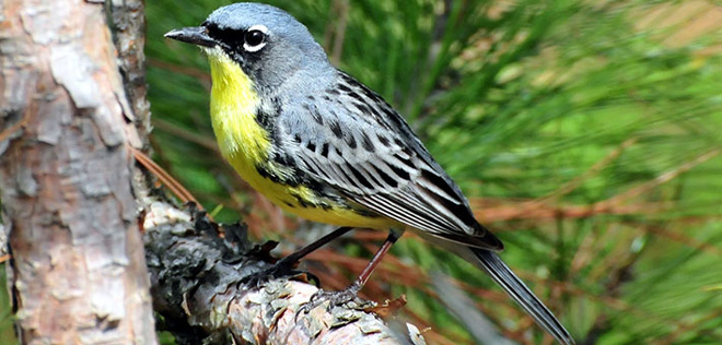 Kirtland's Warbler returns to its Wisconsin birthplace