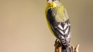 lesser-goldfinch-1222