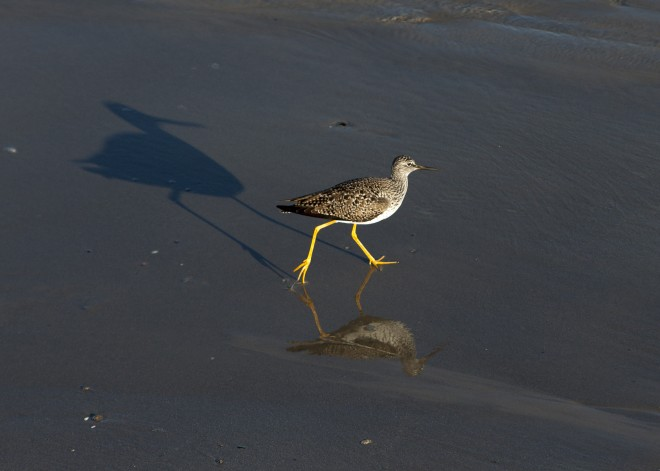 lesser-yellowlegs-Shadow-Reflection-2