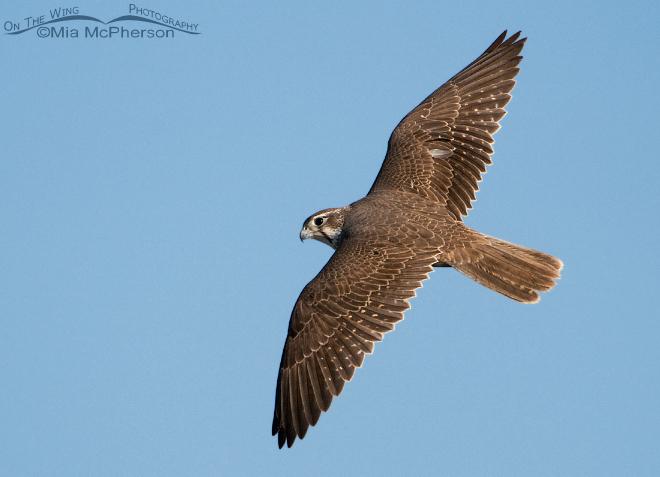 prairie-falcon-flight-mia-mcpherson-0036