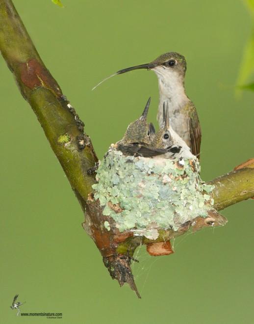 ruby-throated-hummingbird120901-1347-Edit