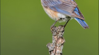 tn_Eastern-Bluebird_2064-1
