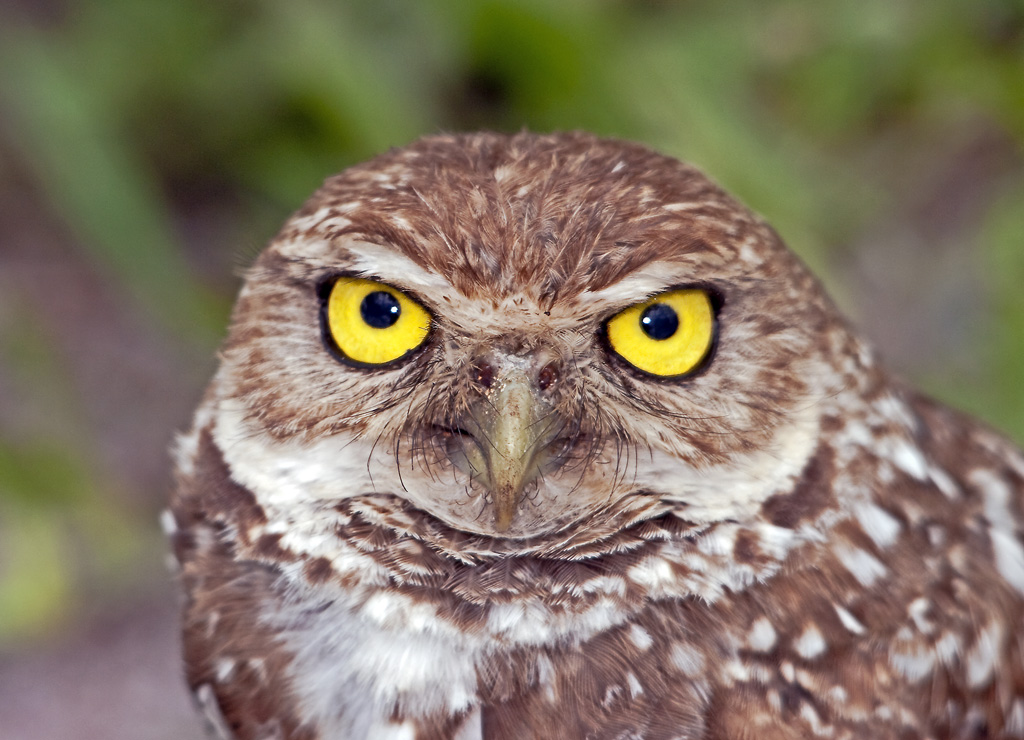 Photo gallery: Eight revealing views of Burrowing Owl