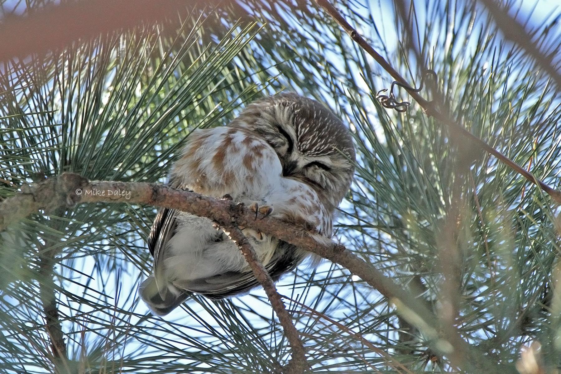 Innovative screens help save tiny western owls
