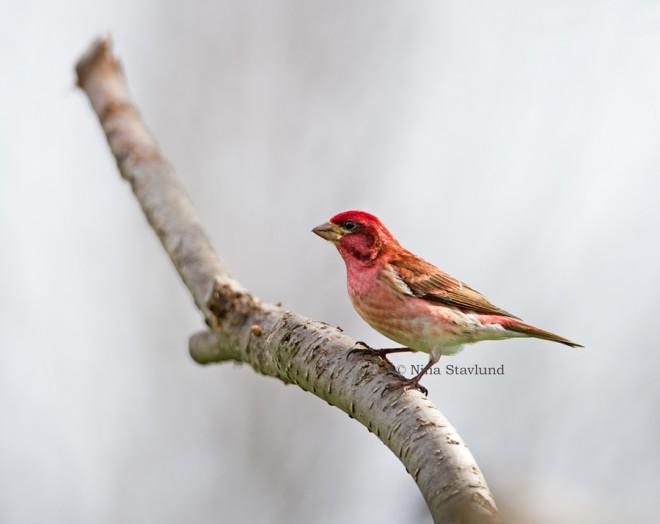 DSC1570-Male-Purple-Finch-Canada