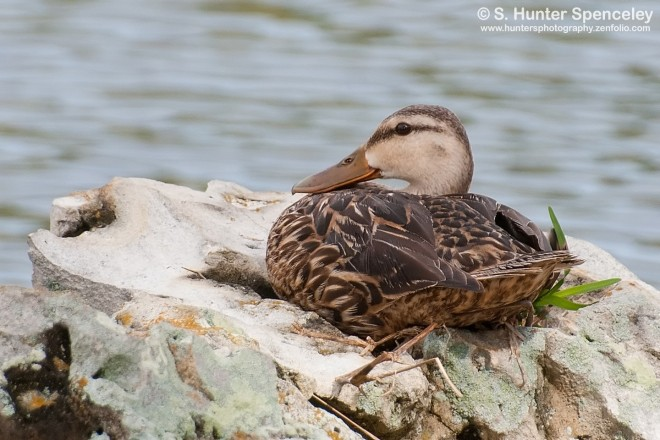 DSC_8427-Mottled-Duck