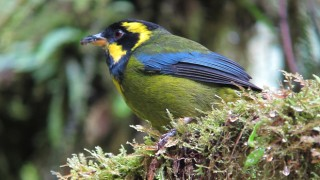 Gold-ringed Tanager gets its name from the yellow ring that runs around its cheek and above the eye. Photo courtesy Felix Uribe/American Bird Conservancy