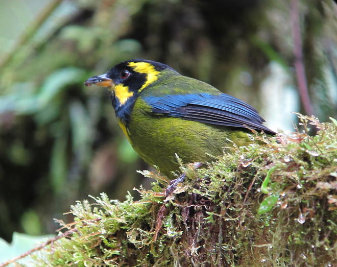Eye on conservation: Protection expanded for rare Gold-ringed Tanager