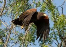 Harris-Hawk-Takeoff