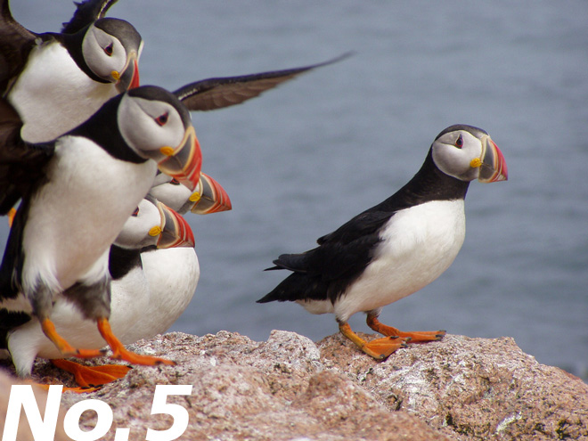 Atlantic Puffin: Parrot of the sea