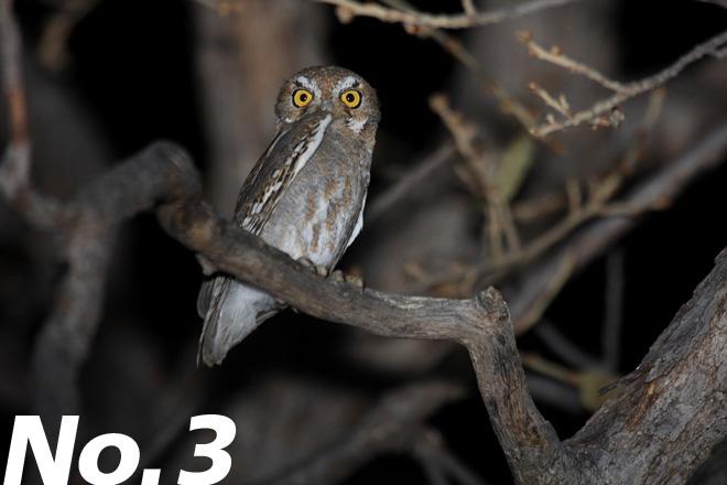 Elf Owl: The world's smallest owl