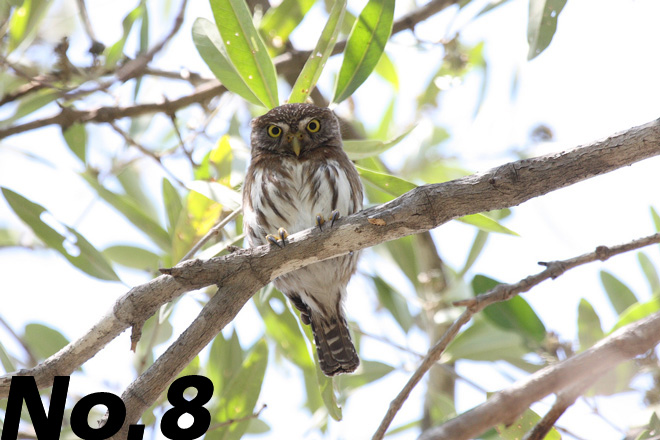 Ferruginous Pygmy-Owl: Fierce little owl of woods and deserts