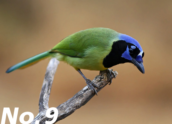 Green Jay: Our most colorful corvid