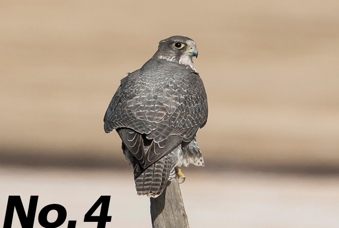 Gyrfalcon: Earth's largest falcon