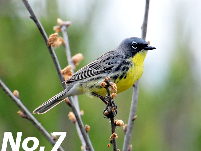 Kirtland's Warbler: North America's rarest songbird