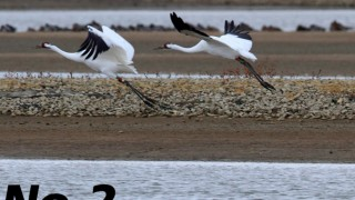 Whooping Cranes fly at Patoka River NWR in Indiana. Photo by Steve Gifford/U.S. Fish and Wildlife Service