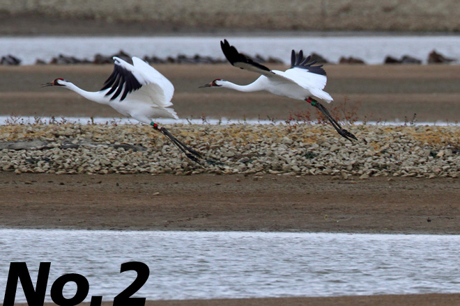 Whooping Crane: Our continent's tallest bird