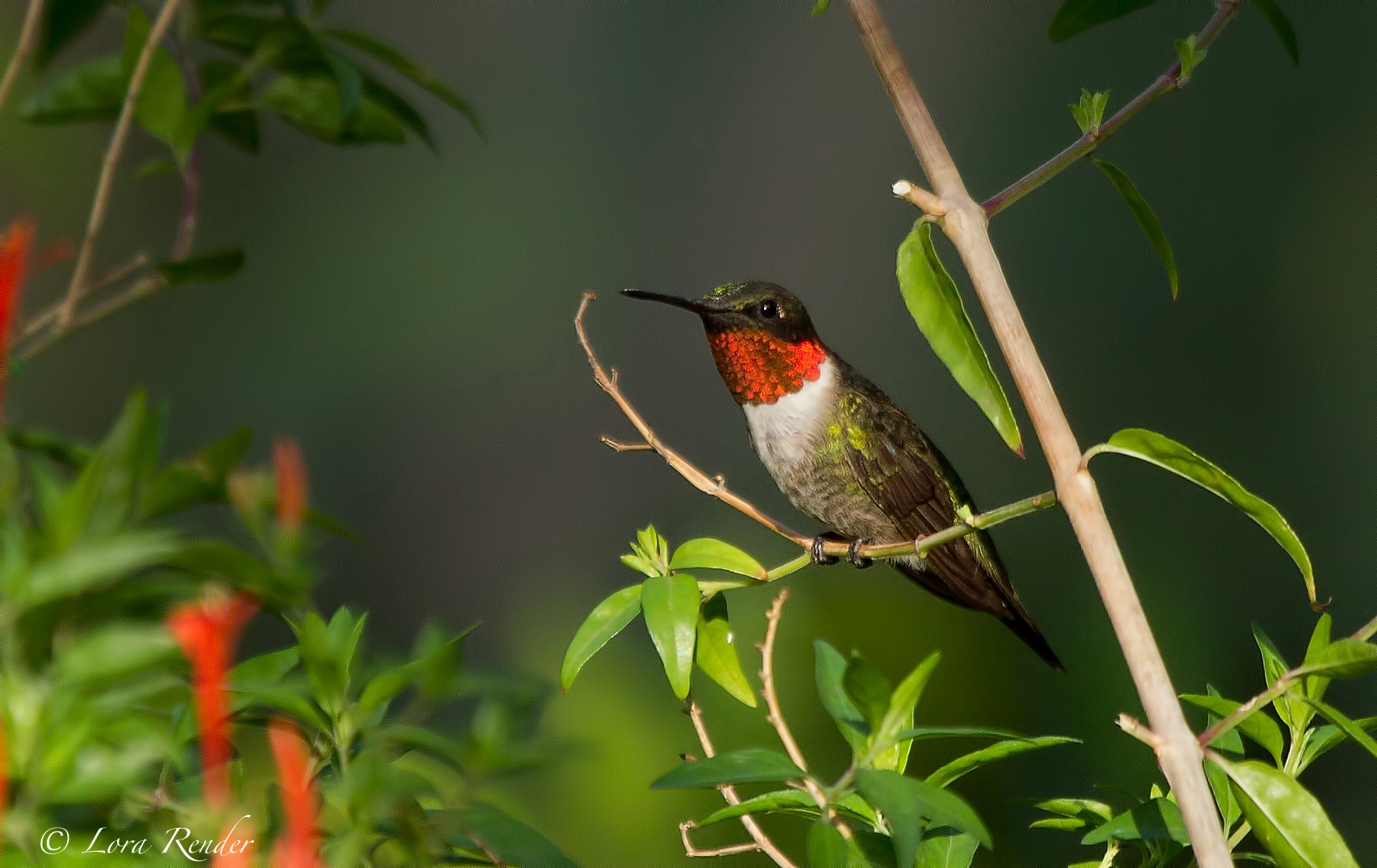 eBird maps show it's time to look for Ruby-throated Hummingbird